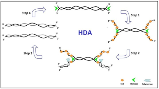 Schematic representation of helicase-dependent amplification (HDA) amplification process.
