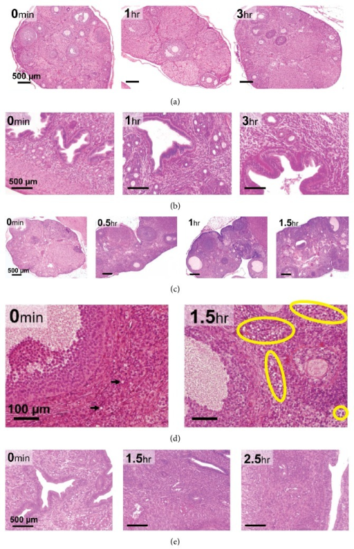 Mouse and gerbil ovarian and uterine horn histology. HE staining was used to evaluate quality of oocyte and follicles. Rows represent HE staining of: (a) mouse ovary up to 3 hr after euthanasia (4x objective, magnification bar is 500 μm); (b) mouse uteri up to 3 hr after euthanasia (10x objective, magnification bar is 500 μm); (c) gerbil ovary up to 1.5 hr after euthanasia (4x objective; magnification bar is 500 μm); (d) significantly high number of vacuoles are indicated in the yellow circles in gerbil ovaries from 1.5 h after euthanasia (40x objective, magnification bar is 100 μm); (e) gerbil uteri up to 2.5 hr after euthanasia (10x objective, magnification bar is 500 μm).
