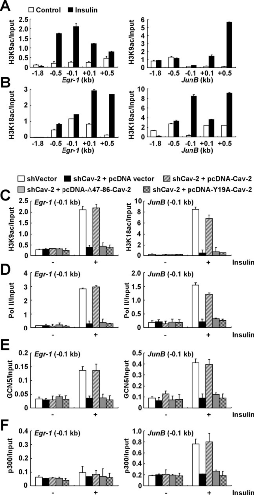 Lamin A/C-associated pY19-Cav-2-mediated recruitment of GCN5 and p300 precedes the subsequent enrichment of H3K9ac and H3K18ac and RNA Pol II on the Egr-1 and JunB promoters in response to insulin. (A and B) Insulin-induced enrichment of H3K9ac and H3K18ac on the Egr-1 and JunB promoters (−0.5 to −0.1 kb). Hirc-B cells treated with or without 100 nM insulin for 30 min were subjected to ChIP with anti-H3K9ac (A) or anti-H3K18ac (B) antibody on Egr-1 and JunB genes. qPCR data in all figures are presented (mean ± SE, n = 4). (C and D) Regulation of the enrichment of H3K9ac on Egr-1 and H3K18ac on JunB promoters and the RNA Pol II recruitment to the promoters (-0.1 kb) by lamin A/C-associated pY19-Cav-2. Control shRNA vector-expressed Hirc-B cells or pcDNA vector-expressed Cav-2 shRNA-, pcDNA-Cav-2-expressed Cav-2 shRNA-, pcDNA-Δ47–86-Cav-2-expressed Cav-2 shRNA- or pcDNA-Y19A-Cav-2-expressed Cav-2 shRNA-stable Hirc-B cells treated with or without 100 nM insulin for 30 min were subjected to ChIP with anti-H3K9ac or anti-H3K18ac antibody (C) or anti-RNA Pol II (D) antibody on the promoters of Egr-1 and JunB genes. qPCR data are presented (mean ± SE, n = 4). (E and F) Recruitment of GCN5 and p300 on the Egr-1 and JunB promoters by lamin A/C-associated pY19-Cav-2. Control shRNA vector-expressed Hirc-B cells or pcDNA vector-expressed Cav-2 shRNA-, pcDNA-Cav-2-expressed Cav-2 shRNA-, pcDNA-Δ47–86-Cav-2-expressed Cav-2 shRNA- or pcDNA-Y19A-Cav-2-expressed Cav-2 shRNA-stable Hirc-B cells treated with or without 100 nM insulin for 30 min were subjected to ChIP with anti-GCN5 (E) or anti-p300 (F) antibody on the promoters of Egr-1 and JunB genes. qPCR data are presented (mean ± SE, n = 4).