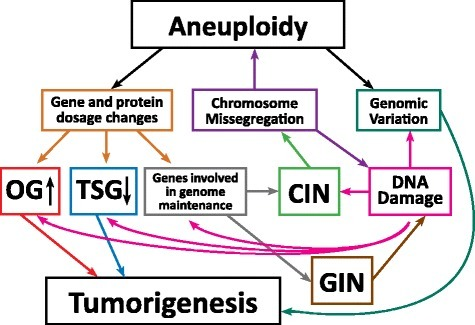 Aneuploidy, CIN and GIN loop together to tumorigenesis. Aneuploidy results in direct changes in mRNA and protein expression levels of genes found on the aneuploid chromosome. Increasing or decreasing the dosage of oncogenes (OG) and tumor suppressor genes (TSG) can have direct effects on cellular transformation. Additionally, while CIN leads to aneuploidy via increased chromosome missegregation, aneuploidy can lead to CIN by changing the stoichiometry of protein complexes required for genome maintenance or by scaling defects brought about by the presence of extra DNA. At the same time, chromosome missegregation has the potential to increase DNA damage and GIN. CIN and GIN are considered mutator phenotypes that could potentially enhance the chance of accumulating oncogenic mutations, thus promoting tumorigenesis. Their 'by-products', aneuploidy and DNA damage generate genetic variation, allowing cells to have increased adaptive potential in the tumor microenvironment