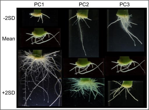 Variation in root system architecture among carnation stem cuttings grown in vitro.For each PC, a representative image corresponding to minus or plus two times the standard deviation (−2SD and +2SD) over the mean is shown.