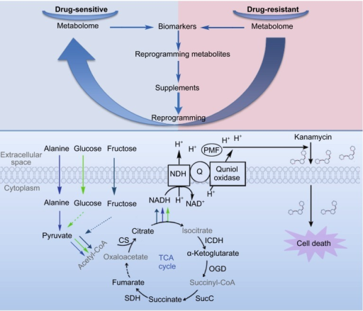 Antibiotic-resistant metabolome is reprogrammed to antibiotic-susceptible metabolome by exogenous alanine, fructose and glucose. These exogenous metabolites promote TCA flux, increase proton-motive force and lead to kanamycin uptake