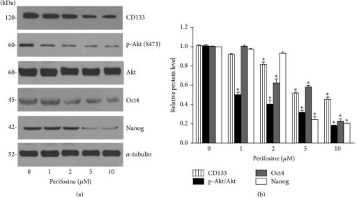 Akt inhibitor perifosine suppresses CD133, Oct4, and Nanog. (a) H460 cells were treated with perifosine (0–10 µM) for 48 h. Cells were collected and CSCs marker CD133 and the cellular levels of self-renewal pluripotency transcription factors, Oct4 and Nanog, were analyzed by Western blotting. The blots were reprobed with α-tubulin to confirm equal loading. (b) Signals were quantified by densitometry, and mean data from independent experiments were normalized to the controls. The bars are means ± SD (n = 3). ∗P < 0.05 versus nontreated cells.