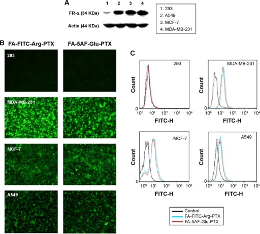 Targeting capability of fluorescence dye-labeled PTX prodrug formulations in different tumor cell lines with different FA-α receptor expression levels.Notes: (A) Protein levels of FR-α in the tumor and normal cell lines were determined by Western blot. (B) Targeting ability of PTX prodrug formulations in MDA-MB-231, MCF-7, A549, and HEK293 cells. Tumor cells show increased uptake of PTX prodrug compared with the normal cell lines with low expression of FR protein. (C) Flow cytometric analysis of FA-modified PTX prodrug formulation in MDA-MB-231, MCF-7, A549, and HEK293 cells. FA-FITC-Arg-PTX and FA-5AF-Glu-PTX prodrug formulations were taken up into the MDA-MB-231 cell lines at a rate of 89.6% and 85.9%, respectively, but at a rate of only 2.1% and 1.9% in HEK293 cells.Abbreviations: 5AF, 5-aminofluorescein; FA, folic acid; FITC, fluorescein isothiocyanate; PTX, paclitaxel; FA-α, folate receptor alpha.
