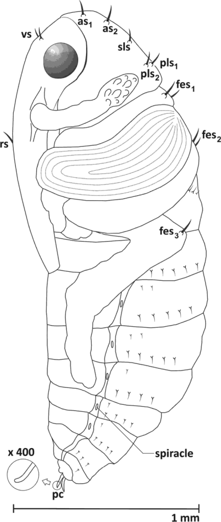 Pupa, lateral view: as apical s., sls sublateral s., pls posterolateral s. vs vertical s. rs rostral s. fes femoral s. pc urogomphi.