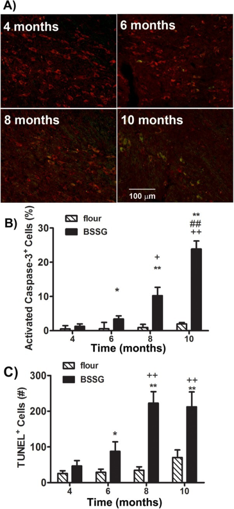 BSSG increases indices of apoptosis.(A) Representative photomicrographs of TH (red) and activated caspase–3 (green) immunostaining in the SNc 4, 6, 8, and 10 months following initial BSSG exposure. (B) Exposure to BSSG triggered the progressive increase in the percentage of TH+ cells expressing activated caspase–3, an indicator of apoptosis. Each bar represents the mean (± S.E.M., n = 9–10) percentage of TH+ cells labeled for activated caspase-3-positive cells in the SNc. (C) BSSG similarly triggered time-dependent elevations in TUNEL labeling within the SNc. Each bar represents the mean (± S.E.M., n = 9–10) number of TUNEL-positive cells counted in the SNc. ** sig. diff. from flour control, p < 0.001; * p < 0.05; ++ sig. diff. from 4 months, p < 0.001; + p < 0.05; ## sig. diff. from 6 months, p < 0.001.