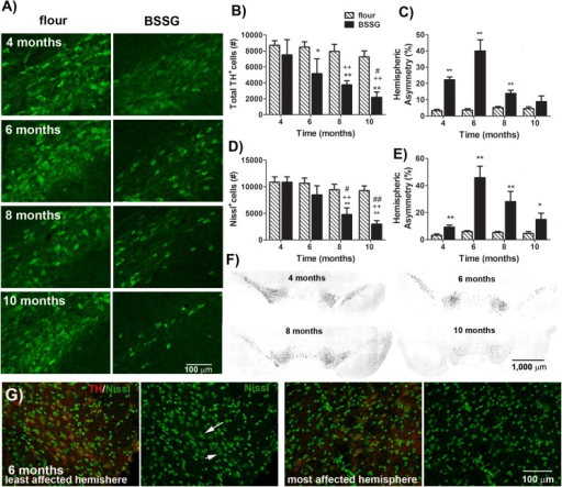 BSSG triggers the progressive loss of dopaminergic nigrostriatal neurons.(A) Representative fluorescent photomicrographs of TH immunostaining in the SNc 4, 6, 8, and 10 months following initial BSSG exposure. Unbiased stereologic counts of (B) TH+ and (D) Nissl+ cells in the SNc were significantly reduced in those animals treated with BSSG. Each bar represents the mean (± S.E.M., n = 9–10) number of TH or Nissl immunopositive cells counted in the SNc. Asymmetrical loss of both (C) TH+ and (E) Nissl+ cells in the SNc was observed. Each bar represents the mean (± S.E.M., n = 9–10) hemispheric difference, expressed as a percentage of the most populated hemisphere. (F) Representative photomicrographs depicting asymmetry of TH immunolabeling in the SNc 4, 6, 8, and 10 months following initial BSSG exposure. (G) Representative fluorescent photomicrographs depicting TH (red) and Nissl (green) labeling in both hemispheres of the SNc 6 months following initial exposure to BSSG. Arrows indicate Nissl-positive neurons. ** sig. diff. from flour control, p < 0.001; * p < 0.05; ++ sig. diff. from 4 months, p < 0.001; + p < 0.05; ## sig. diff. from 6 months, p < 0.001; # p < 0.05.