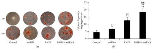 Combination of BMP9 and miR-548d-5p enhances matrix mineralization and calcium deposition in MSCs. (a) Alizarin red S staining at 2 and 3 w shows the synergetic effects of BMP9 and miR-548d-5p on matrix mineralization; (b) the synergetic effects of BMP9 and miR-548d-5p on calcium deposition in MSCs cultured for 14 days (∗∗P < 0.01 versus control; ##P < 0.01 versus miR-548d-5p; &&P < 0.01 versus BMP9).