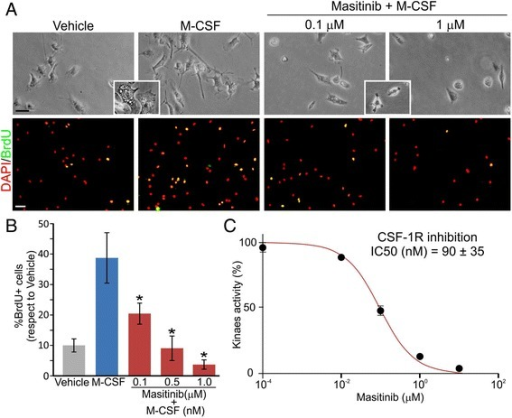 Masitinib prevented microglia proliferation by inhibiting CSF-1R. a Microglia cultured from symptomatic SOD1G93A rat spinal cord in low FBS conditions (0.5 %) adding 30 ng/mL of M-CSF with indicated masitinib concentrations. The insets show the hypertrophic vacuolated cells in vehicle and M-CSF conditions and the small rounded cells after masitinib treatment (scale bars: contrast 20 μm and DAPI/BrdU 50 μm). b The graph shows the quantitative BrdU analysis where positive cells were counted and expressed as percentage of total cells stained with DAPI. M-CSF treatment produced a significant increase in microglial proliferation that was blocked by masitinib. c Kinase inhibition assay showing that masitinib inhibited CSF-1R with an IC50 = 90 ± 35 nM. All data are expressed as mean ± SEM *p < 0.01