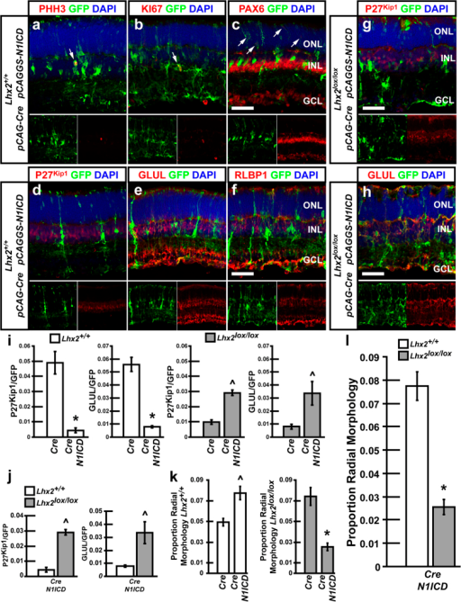 Electroporation of N1ICD maintains radial RPCs and is sufficient to rescue loss of MG development resulting from Lhx2 loss of function.(a–f) Lhx2+/+ retinas electroporated with Cre/GFP/N1ICD. (a–c) Fluorescent immunohistochemical labeling of electroporated retinas with GFP and the proliferation markers PHH3 and KI67, or the progenitor/amacrine/ganglion cell marker PAX6. Arrows indicate co-labeled cells. (d–f) fluorescent co-labeling with the MG markers P27Kip1, GLUL, and RLBP1. (g,h) Lhx2lox/lox retinas electroporated with Cre/GFP/N1ICD and analyzed by fluorescent immunohistochemical labeling with P27Kip1 and GLUL. (i,j) Quantification of GFP/P27Kip1 and GFP/GLUL co-labeled cells in Lhx2+/+ and Lhx2lox/lox mice following Cre/GFP or Cre/GFP/N1ICD. (k,l) Quantification of radial cells in Lhx2+/+ or Lhx2lox/lox mice following Cre/GFP or Cre/GFP/N1ICD electroporation. *Indicates significant decrease while ^ indicates significant increases (P < 0.05, N = 6 for marker counts, N = 12 for radial morphology counts). ONL, outer nuclear layer; INL inner nuclear layer; GCL, ganglion cell layer. Scale bars: 50 μm (c,f,g,h).