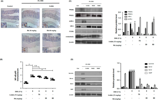 Effect of RA on NF-κB activation and expression of its relative gene products in DSS-induced colitis mice.(A) The manifestation and translocation to the nucleus of p65 in colon tissues were observed by immunohistochemistry estimation. (B) Immunoscore of p65 in colon of DSS-induced mice was estimated. (C) Nuclear (N) and cytosol (C) extracts were prepared from colon tissues on 7 days of DSS administration and translocation of p65 to the nucleus and phosphorylation of IκB were estimated by western blot analysis using specific antibodies. C23 and α-tubulin were used as internal controls. (D) NF-κB-related proteins were determined by western blot analysis using specific antibodies. β-actin was used as internal controls. Relative ratio level was determined by densitometric analysis (Bio-rad Quantity One® Software) normalized to internal controls. Values are the mean ± SD (n = 10); ##P < 0.01, ###P < 0.001 vs control group; *P < 0.05, **P < 0.01, ***P < 0.001 vs the DSS-induced group; significances between treated groups were determined using ANOVA and Dunnett's post hoc test.