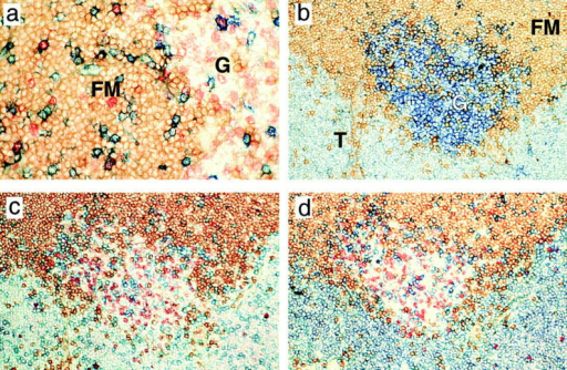 Photomicrographs  of stained sections to show germinal centers formed during responses to NP-CGG in a and  MMTV(SW) in b–d within the  draining LN. a (×250) shows a  LN taken 8 d after immunization  with NP-CGG stained for IgD  (brown), CD3 (blue) and BrdU  (red) incorporation. Proliferating  T cells can be seen both within  the IgD− germinal center (G)  and the surrounding IgD+ follicular mantle (FM). b–d (×160) are  serial sections from a draining  node 22 d after infection with  MMTV(SW) stained for IgD  (brown), BrdU (red) and blue  staining which shows PNA in b,  Vβ6 in c, and CD3 in d, respectively. Almost all the T cells  within the PNA+ germinal center (G) and around 10% of the T  cells in the T zone (T) express  Vβ6. Very few follicular Vβ6 T  cells are BrdU+; this applied to T  cells in follicles at all stages of the  response to MMTV(SW).