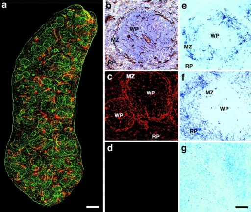 Expression pattern of laminin and CD11c and anatomic localization of viral nucleic acids of LCMV ARM53b and clone-13 in the spleen. Detection of laminin and CD11c in whole spleen sections. (a) Laminin was detected with a rabbit anti–mouse laminin-1 antibody and a FITC-labeled secondary antibody (green). CD11c was detected with a hamster anti-CD11c antibody and a rhodamine-X–conjugated secondary antibody (red). Overlapping fluorescence appears in yellow, since a rhodamine-X/FITC double filter device was used. Localization of laminin in the marginal zone of the white pulp. (b) Laminin was stained with rabbit anti–laminin-1 antibody using an HRP-conjugated secondary antibody and DAB as a chromophore. Sections were counter stained with hematoxylin and eosin. Laminin staining of a single white pulp area. (c and d) Laminin was detected with a rabbit anti–laminin-1 antibody and a Texas red–conjugated secondary antibody (c). Secondary antibody is shown only in d. Detection of viral nucleic acids of LCMV clone-13 (e) and ARM53b (f) within the spleen 3 d after infection. Spleen sections from mice infected 3 d before with 2 × 106 pfu (i.v.) clone-13 (e), ARM53b (f), or mock infection (g) were examined by in situ hybridization using a digoxigenin-labeled riboprobe specific for LCMV-NP. MZ, marginal zone; RP, red pulp; WP, white pulp. Bars: (a) 200 μm; (b–g) 50 μm.