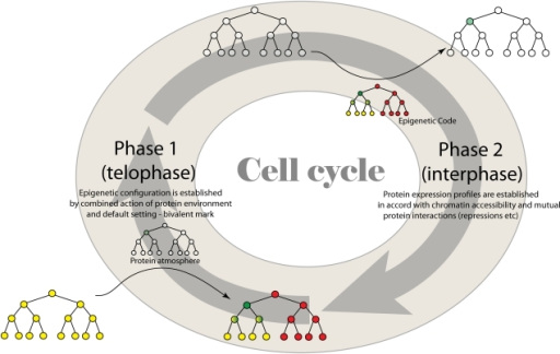 The Cell Cycle Simple The cell cycle is divided into