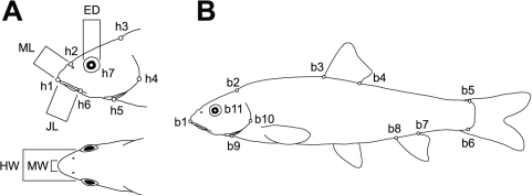 Landmarks used in morphometric analyses (A, B) and trophic traits (A).Trophic traits are eye diameter (ED), mouth length (ML), jaw length (JL), mouth width (MW), and head width (HW).
