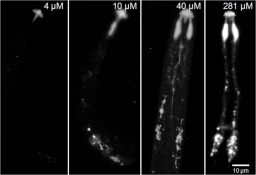 Neuronal uptake of four different concentrations of labelled nAChRbp by J2s of Globodera pallida.J2 of G. pallida were incubated for 16 h in 4 µM, 10 µM, 40 µM or 281 µM nAChRbp labelled with Alexa Fluor 488. The peptide was visualised by epifluorescence. The scale bar of 10 µm applies to all images.