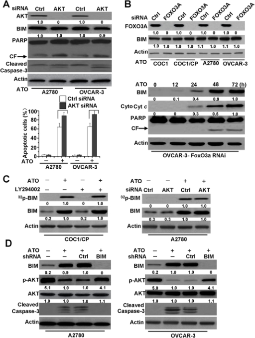BIM mediated-AKT dephosphorylation regulates apoptosis induced by ATO.A. Effect of AKT siRNA on the BIM expression. Cells were transfected with either control siRNA or AKT1 siRNA for 48 h and then were exposed to ATO for 72 h. Cells were lysed and assayed for individual protein levels by Western blot. CF is referred to cleaved PARP. β-Actin was used as a protein loading control. Up, protein levels of AKT, BIM, cleaved caspase-3, and PARP were detected by Western blot. Relative amount of individual protein level was set as described in Figure 3B. p-AKT and AKT levels of Ctrl siRNA transfected and treated A2780 cells were considered as 1. Down, analysis of apoptotic cells. as described in Material and Methods. All data are depicted graphically as the means ± standard errors of the means for at least three independent experiments. P>0.05 (not significant). B. Effect of FOXO3A siRNA on the BIM expression and cell apoptosis. Cells were transfected with either control siRNA or FOXO3A siRNA for 48 h and then were exposed to ATO for 72 h. Up, Following transfection for 48 h, Immunoblot for BIM and FOXO3A protein expression was performed on whole cell lysates. Relative amount of individual protein level was set as described in Figure 3B. FOXO3A and BIM levels of Ctrl siRNA transfected COC1 cells were considered as 1. Down, protein levels of BIM, cytosol cyt c and PARP were assayed by Western blot in FOXO3A siRNA OVCAR-3 cells. For cyt c detection, cells were treated following Figure 1E. As described in Figure 3B, relative amount of BIM and cyt c in ATO treated cells (72 h) were regarded as 1. C. Effect of AKT on BIM phosphorylation. Cells were metabolically labeled with [32P] orthophosphoric acid and treated with ATO (2 µM) for 48 h, and BIM was immunoprecipitated by using an agarose-conjugated BIM antibody, then detection of phosphorylation of BIM. Phosphorylation of BIM was determined by autoradiography (upper panel). Western blot analysis was performed to confirm and quantify BIM protein (lower panel). Left, the effect of LY294002 on BIM phosphorylation. Cells were treated with ATO and/or LY294002 (25 µM), then detection of BIM expression and phosphorylation. As described in Figure 3B, relative amount of 32p-BIM and BIM in ATO treated cells were regarded as 1. Right, the effect of AKT siRNA on BIM phosphorylation. Cells were transfected with either control siRNA or AKT1 siRNA for 48 h and then were exposed to ATO for 48 h. Detection of BIM expression and phosphorylation as described. Relative amount of 32p-BIM and BIM in AKT transfected and ATO treated cells were set as 1. D. Effect of BIM shRNA on AKT phosphorylation. Cells were transfected with either control shRNA or BIM shRNA for 48 h and then were exposed to ATO for 48 h. Western blot examined BIM expression, caspase-3 cleavage, protein levels of p-AKT (Ser473) and AKT in cells. Relative amount of p-AKT, AKT and BIM in Ctrl shRNA transfected and ATO treated cells were set as 1. All data are representative of three independent experiments.