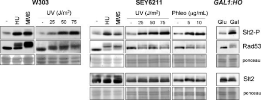 Activation of Slt2 MAP kinase by genotoxic stress. Exponentially growing cultures of the wild type W303-1a and SEY6211 strains were split and incubated for 60 min in the absence or presence of 200 mM hydroxyurea, 0.04% MMS, 5 and 10 μg/mL phleomycin, or were irradiated with different doses of UV radiation as indicated. Cultures of the GAL1:HO (JKM139) mutant strain grown on rafinose were split and incubated for 4 hours after the addition of glucose or galactose up to 2%. The level of Slt2 phosphorylated in the activation loop and total Slt2 protein in cell extracts was determined by western analysis. Analysis of chekpoint kinase Rad53 activation is shown as a control of the presence of genotoxic stress. Ponceau staining of the membranes are shown as loading control.