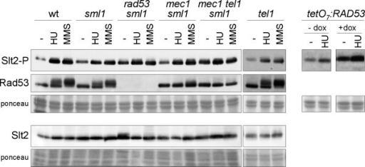 Activation of Slt2 by genotoxic stress in DNA integrity checkpoint mutants. Exponentially growing cultures of the wild type (W303-1a), sml1 (JCY1144), rad53 sml1 (JCY1038), mec1 sml1 (JCY1039), mec1 tel1 sml1 (JCY1275) and tel1 (JCY1258) strains were split and incubated for 60 min in the absence or presence of 200 mM hydroxyurea or 0.04% MMS. Exponentially growing cultures of the tetO7:RAD53 (JCY1149) strain were incubated for 6 hours in the absence or presence of 5 μg/mL doxicycline in order to repress the tetO7 promoter followed by 60 min incubation in the absence or presence of 200 mM hydroxyurea. The level of phosphorylated Slt2, total Slt2 protein and the chekpoint kinase Rad53 was determined by western analysis. The ponceau staining of the membranes are shown as loading control.