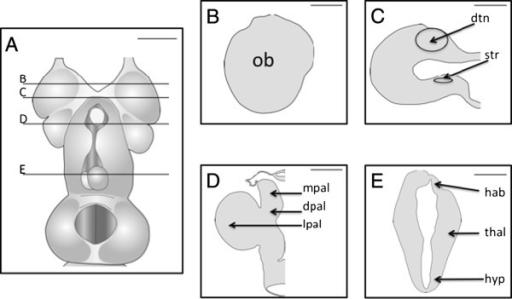 Telencephalon Diagram