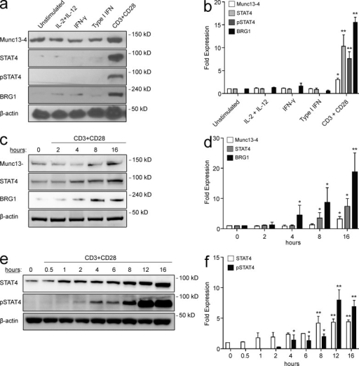 CD3–CD28 signaling induces Munc13-4, STAT4, and BRG1 expression in naive CD8+ T cells. (a) Representative Western blots for Munc13-4, STAT4, pSTAT4, and BRG1 in naive CD8+ T cells from a healthy donor stimulated with IL-2 and IL-12, IFN-γ, type I IFN, or anti-CD3/CD28 microbeads. (b) Cumulative Munc13-4, STAT4, pSTAT4, and BRG1 fold expression values from each stimulation condition relative to unstimulated cells from five healthy donors in three independent experiments. All values are normalized to β-actin. (c) Representative Western blots for Munc13-4, STAT4 and BRG1 in naive CD8+ T cells from a healthy individual stimulated with anti-CD3/CD28 microbeads for 0, 2, 4, 8, and 16 h. (d) Cumulative Munc13-4, STAT4, and BRG1 fold expression values from each stimulation time point relative to unstimulated cells from three healthy individuals in two independent experiments. All values are normalized to β-actin. (e) Representative Western blots for total and phosphorylated (pY693) STAT4 expression in naive CD8+ T cells from a healthy donor at the indicated time points after stimulation with anti-CD3/CD28 microbeads. (f) Cumulative STAT4 and pSTAT4 fold expression values from each stimulation time point relative to unstimulated cells from three healthy donors in two independent experiments. All values are normalized to β-actin. Fold expression differences with P ≤ 0.05 are marked with a single asterisk, and with P ≤ 0.01 are marked with a double asterisk.