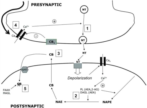 Cannabinoids as mediators of neuronal retrograde signaling. The presence of cannabinoid receptors (CBRs) on presynaptic neurons modulates the release of neurotransmitter to the synapsis. The action potential in the presynaptic neuron causes the fusion of neurotransmitter vesicles with the plasma membrane (1). The binding of the neurotransmitter to its postsynaptic receptors induces the depolarization of the postsynaptic membrane and the accumulation of Ca2+ in the cytoplasm, inducing the activation of calcium-dependent enzymes in charge of the biosynthesis of endocannabinoids (PL, DAGL) (2). Cannabinoids produced de novo diffuse through the postsynaptic membrane, binding to the presynaptic CBRs (3). The activation of CBRs promotes the hyperpolarization of the presynaptic membrane (4) and modulates the release of neurotransmitter, regulating synaptic transmission. Endocannabinoids are internalized by a selective transporter (AMT) and degraded by specific enzymes (FAAH, MAGL) (5).