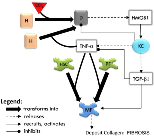 An overview of agent interactions in the model. H, hepatocyte; D, dead hepatocyte; KC, Kupffer cell; HSC, hepatic stellate cell; PF, portal fibroblast; MF, myofibroblast. Diffusible factors TNF-α, tumor necrosis factor alpha; TGF-β1, transforming growth factor beta 1; HMGB1, high mobility group box protein 1. Detailed rules are available in Supplementary Material.
