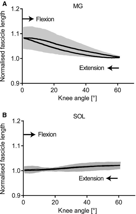 Group mean average of the normalized fascicle length. Data for fascicle length are plotted against knee angle for medial gastrocnemius (MG, A) and soleus (SOL, B). Gray‐shaded area represents ± standard error of the mean about the mean. During the course of the knee flexion, MG fascicle length decreased followed by an increase during knee extension. SOL fascicle length remained relatively unchanged throughout the flexion–extension cycle.