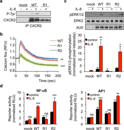 K327R mutation abrogates CXCR2 signaling in response to IL-8. HEK-293T cells were transfected with pCEFL-AU5 plasmid (mock), containing in frame wild type (WT), K327R (R1), and K337R (R2) mutant forms of FL CXCR2. One day later, cells were starved (control) or exposed to IL-8 (50 ng/ml, 15 min, unless specified). a. Anti-phospho-Tyr (4G10), anti-CXCR2 western-blots were performed in CXCR2 immunoprecipitated (IP) fraction. b. Calcium flux was measured using the Fluo4NW probe in response to IL-8 for the indicated times. Fluorescent units were normalized to control conditions. c. Anti-AU5, anti-pERK1/2 and anti-ERK2 western-blots were performed. Pixel intensities of the pERK1/2 lanes were quantified using Image J software and normalized to total ERK2. d. Promoter activity of both NF-κB and AP1 was monitored through luciferase-based assays. Each panel is representative of three independent experiments. Means + sem are shown. **p < 0.01, ***p < 0.001.