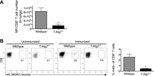 T-Atg7−/− mice fail to form memory CD8+ T cells to a conventional MCMV epitope.(A) Effector CD8+ T cell absolute counts in WT and T-Atg7−/− mice. Quantification of the absolute number of CD8+ NP-tetramer+ T cells was determined in the lungs on day 10 of PR8 influenza infection. **p = 0.0084 by Student t test (n = 6–9). (B) Frequency of m45-specific CD8+ T cells in the liver of MCMV-immunized WT and T-Atg7−/− mice on day 100 post-infection. Dot plots are gated on CD8+ T cells; bar graphs depict the percentage of CD8+ T cells that are m45-tetramer+. All values are mean ± s.e.m.DOI:http://dx.doi.org/10.7554/eLife.03706.007