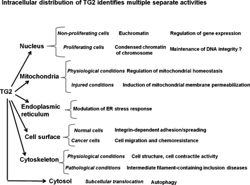 The multifunctional enzyme TG2 is found in various sub-cellular compartments in which its activity is regulated by interaction with diverse factors depending on its location. The identification of changes of location under particular cell conditions might help in the comprehension of unknown functions of TG2