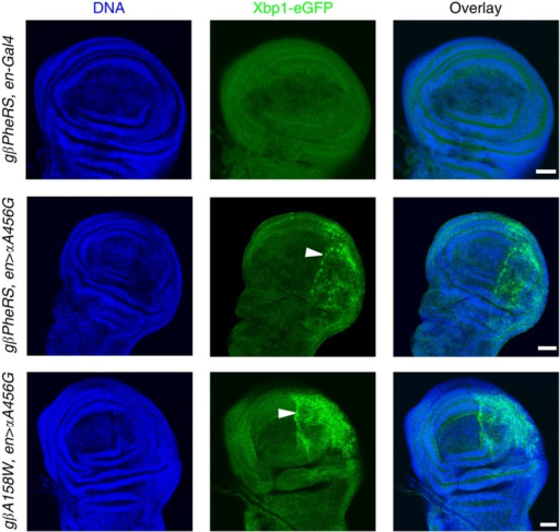 Sieving-defective mutations induce ER stress.An Xbp1-eGFP reporter was used to monitor the expression of the spliced Xbp1 isoform in PheRS-sd mutant wing discs using immunostaining. While no signal was observed in controls, GFP expression was detected both in αA456G mutants and in cells expressing the mutant forms αA456G and βA158W. Note that the GFP signal is always restricted to the posterior compartment. DNA is in blue and GFP is in green. Scale bars represent 25 μm.