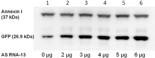Detection of full-length GFP restoration by western blot analysis. The corresponding band for GFP is visible at a size of ~27 kDa on the nitrocellulose membrane after immunostaining. The amount of detected GFP increases with the amount of added AS RNA-13 (lanes 1–6: 0, 2–6 µg AS RNA-13). Analysis of the intensity of GFP signal revealed an up to eight-fold (relative quantification of GFP expression was measured using the Image Lab 3.0.1 software (Bio-Rad, Hercules, CA, USA) up-regulation after the addition of 6 µg AS RNA-13 expressing plasmids. Annexin I was included as loading control in the experiment visible at a size of 37 kDa on the nitrocellulose membrane.