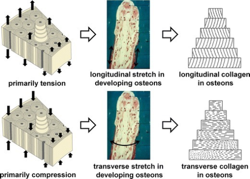 Hypothetical explanation of observed differences in preferential collagen fiber orientation with loading mode (tension or compression)