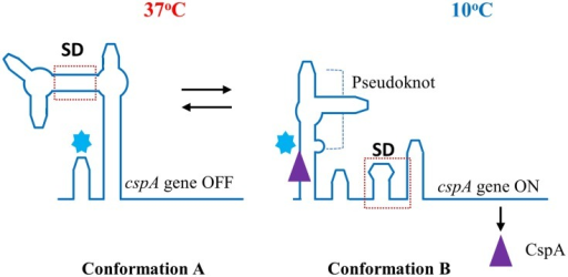 Transcription of the gene encoding the cold shock protein CspA depends on an mRNA rearrangement at low temperature. (A) Interaction of the 5′ untranslated region and the coding region blocks the Shine–Dalgarno (SD) sequence and represses translation of cspA mRNA at 37°C. (B) A cold shock (10°C) produces the liberation of the SD sequence which allows expression of cspA gene. Conformation of the mRNA at 10°C is stabilized by pseudoknot formation. This is further abolished after binding of CspA (▲) to the cold box () in the late phase of cold shock adaption.
