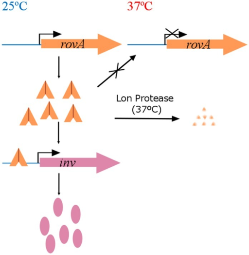 Thermoregulation of the invasin gene in Yersinia species through RovA. RovA is a transcriptional regulator able to bind at TBO in a dimer conformation to the promoter region of the invasin gene (inv) activating its expression. Inv is involved in the first steps of the infection process in human pathogenic Yersinia. When temperature reaches 37°C this dimer undergoes a conformational change that makes unable its binding to the DNA. In this condition, expression of the inv gene does not occur and RovA is degraded by the Lon protease.
