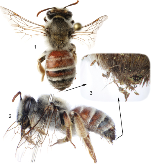 Female of Andrena (Suandrena) savignyi Spinola from Riyadh, Saudi Arabia parasitized by Stylopsnassonowi Pierce 1 Dorsal habitus of bee 2 Lateral habitus of bee (image inverted); one female of parasite observable at apex of tergum IV 3 Detail of setae at bee's metasomal apex showing numerous first instars of the parasite.