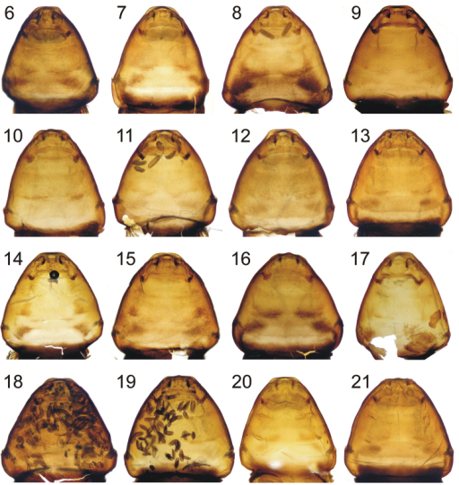 Ventral (6–19) and dorsal views (20, 21) of cephalothoraxes of female puparia from Stylopsnassonowi Pierce (6–13, 20, 21) and Stylopsaterrimus Newport (14–19) 6 Voucher SCa5 (Czech Republic) 7 Voucher SCa6 (Czech Republic) 8 Voucher SHo1 (Turkey) 9 Voucher SSa1 (Saudi Arabia) 10 Voucher SSg1 (Czech Republic) 11 Voucher STi2 (Hungary) 12 Voucher STi4 (Czech Republic) 13 Voucher STi6 (Czech Republic) 14 Voucher SAg1 (Tunisia) 15 Voucher SBm1a (Czech Republic) 16 Voucher SBm1b (Czech Republic) 17 Voucher STig2 (Tunisia) 18 Voucher SCa7 (Switzerland) 19 Voucher Ssp1 (Tunisia) 20 Voucher SCa10 (Czech Republic) 21 Voucher STi6 (Czech Republic).