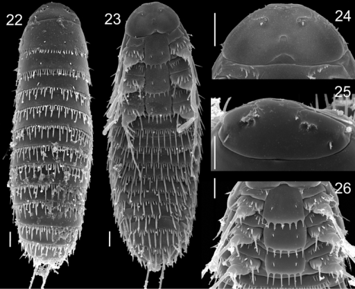 First instar of Stylopsnassonowi Pierce 22 Dorsal view 23 Ventral view 24 Detail of head, ventral view 25 Detail of head, dorsal view 26 Thoracic segments, ventral view. Scale bars: 10 µm.