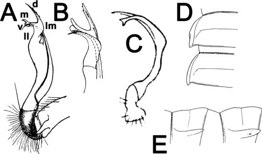 Antheromorphamediovirgata (Carl, 1941), ♂ holotype (A, B); Antheromorphaminlana (Pocock, 1895), ♂ holotype (C); Antheromorphapardalis (Pocock, 1895), ♀ holotype (D, E). A, B right gonopod, mesal and lateral views, respectively C left gonopod, mesal view D, E segments 10 and 11, dorsal and lateral views, respectively (after Pocock 1895; Carl 1941; Jeekel 1980). No scale bar.