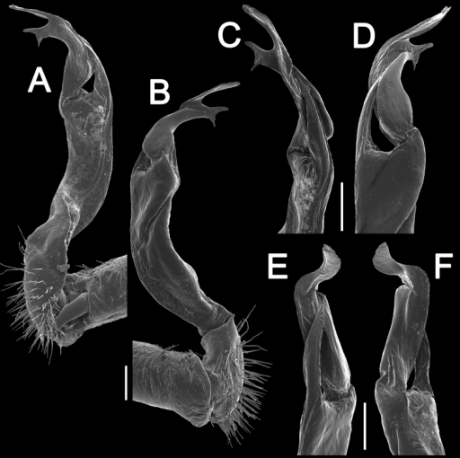 Antheromorphauncinata (Attems, 1931), ♂ from Thap Sakae. A, B right gonopod, mesal and lateral views, respectively C–F distal part of right gonopod, submesal, sublateral, subcaudal and suboral views, respectively. Scale bar: 0.2 mm.