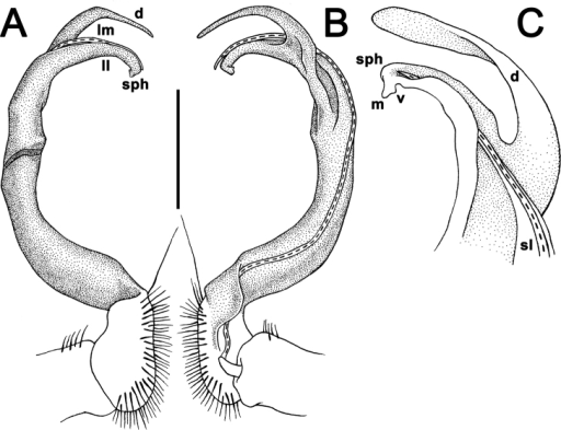 Antheromorphaharpaga (Attems, 1937), ♂ lectotype. A, B right gonopod, lateral and mesal views, respectively C left gonopod, lateral view. Scale bar: A, B 0.4 mm C drawn not to scale.