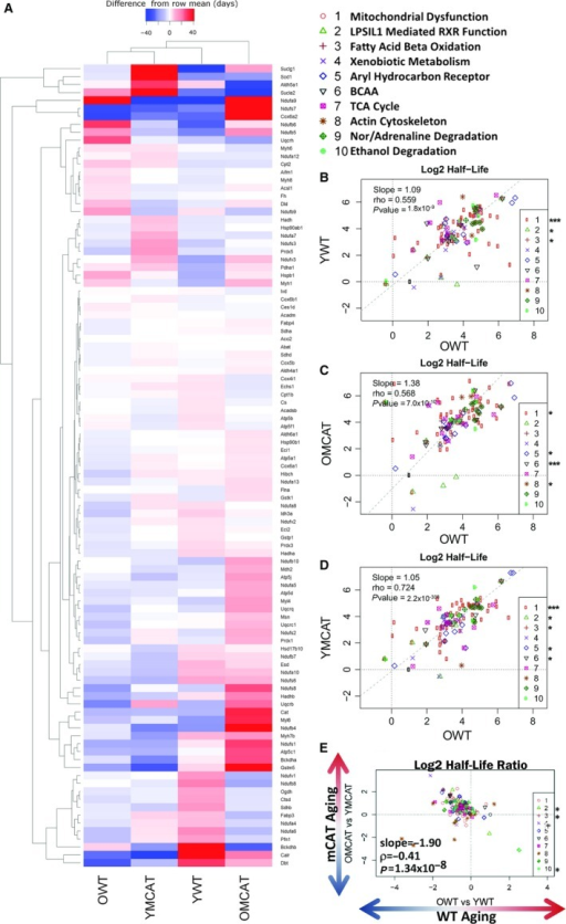 Hierarchical heatmap of all cardiac proteins significantly changed in half‐life during aging and correlation plots of cardiac proteins that significantly changed with age. (A) Heatmap depicting all proteins with significantly altered (P‐value < 0.05) in the statistical comparison of YWT and OWT proteome half‐lives. The four columns correspond to the treatment groups used in this study: YWT, OWT, YmCAT, and OmCAT. Colors in the heatmap represent the half‐life of a protein relative to its mean half‐life (in days) across all treatment groups (difference from row mean). Correlations were made between OWT half‐lives vs. each treatment group—(B) YWT, (C) OmCAT, and (D) YmCAT. (E) A correlation of WT aging (OWT/YWT) vs. mCAT aging (OmCAT/YmCAT). *P‐value < 0.05, **P‐value < 0.001 for Spearman's correlation of the individual pathways in the regressions.