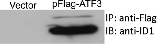 Co-immunoprecipitation assay demonstrated that ATF3 physically binds with ID1. ESCC cell line EC109 cells were transfected with the pFlag-ATF3 plasmid and harvested 48 h post-transfection. The cell lysate was pulled down by anti-flag antibodies and the immunocomplex was probed by anti-ID1 antibodies.