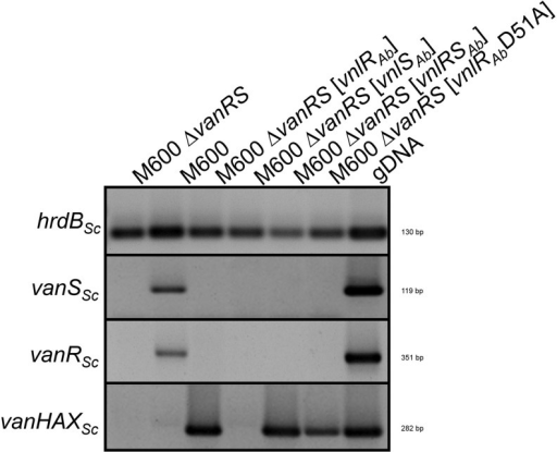 RT-PCR analyses of S. coelicolor M600 and different S. coelicolor M600 mutants. RNA was isolated after 25 hr of cultivation in the absence of any glycopeptide. hrdB: transcription of the housekeeping gene hrdBSc. vanSSc, vanRSc, and vanHAXSc: transcription of vanSSc, vanRSc, and vanHAXSc. For PCR, genomic DNA (gDNA) was used as positive control.