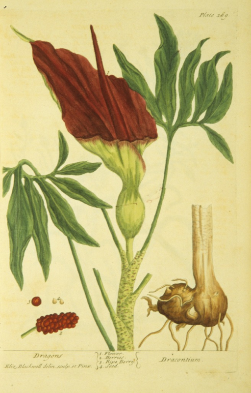 <p>Illustration of the flower, berries, and seeds of a dragon plant.</p>