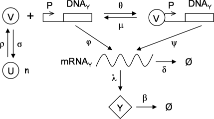 Biological scheme of a transcriptional regulation. Greek letters denote the kinetic constants of the different biochemical reactions