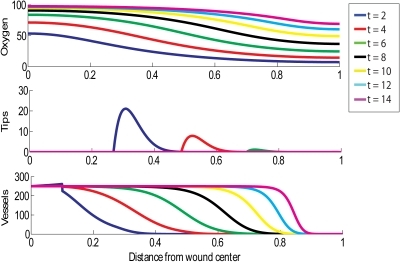 Simulation of successful wound healing.Parameter values for this simulation are shown in Table 1, except here . Multiple day intervals are shown (dark blue = 2, red = 4, green = 6, black = 8, yellow = 10, light blue = 12, pink = 14). The top graph shows oxygen tension (mmHg), the middle graph shows tip density (capillaries/cm2) and the bottom graph shows blood vessel density (vessels/cm).
