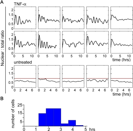 Periodic cycles in TNF-α induced NF-κB oscillations are sustained in most cells.(A) 79% of the cells (n = 95) had sustained oscillations in nuclear p65. Ten temporal profiles from TNF-α treated cells are shown, with eight oscillating (left 4 columns) and two non-oscillating (last column) cells. The lower panel is from control time lapse data where cells were followed by time lapse microscopy without TNF-α treatment. The red line at ratio 1 indicates the state where the nuclear and the total mean intensities are the same. (B) The distribution of the period identified by Fourier analysis (see Methods).