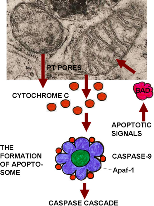 The intrinsic pathway of apoptosis induction as implemented by mitochondria. This figure illustrates the role of mitochondria in apoptosis.